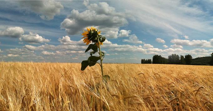 sanatate si frumusete - floarea soarelui